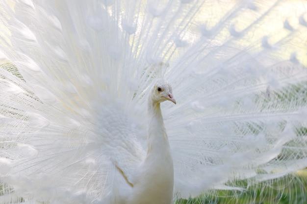 Pavão branco incrível abrindo sua cauda