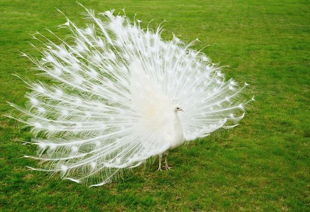 Pavão branco na grama verde