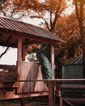 Pavão colorido bonito empoleirado em uma cabana de madeira no zoológico