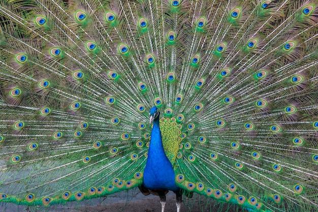 Pavão com penas multicoloridas