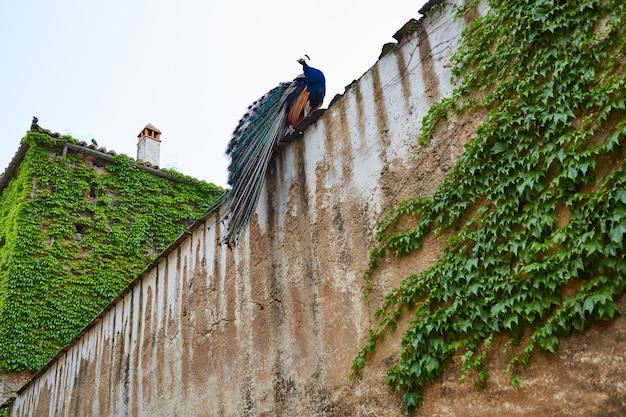 Pavão de cáceres na antiga muralha da cidade na extremadura
