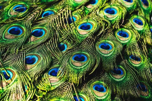 Pavão de retrato com belas penas coloridas