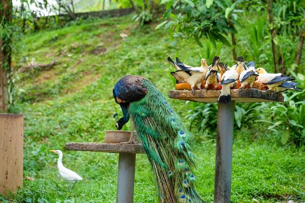 Pavão e pombos comem de um alimentador de pássaros em um parque de pássaros. observação de pássaros