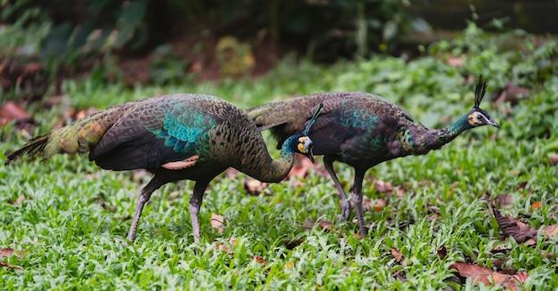 Pavão fêmea caminhando na grama verde no parque do zoológico