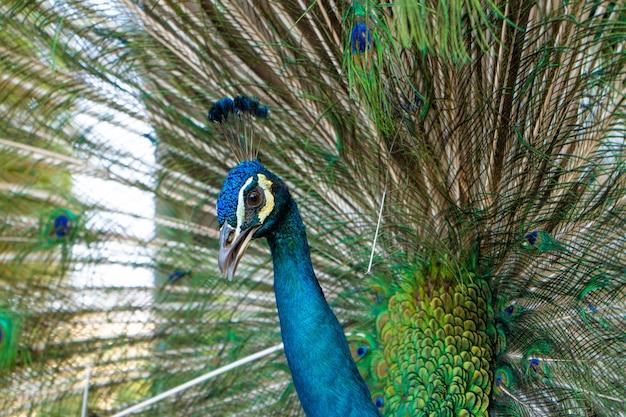 Pavão macho bonito e bem preparado, espalhando sua cauda, cauda luxuosa, flerta com uma fêmea
