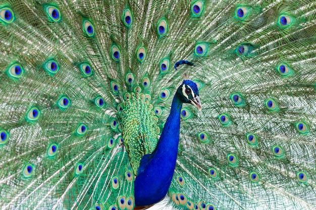 Pavão masculino indiano impressionante com as asas abertas que mostram todos seus olhos azuis sobre a plumagem verde.