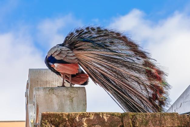 Pavão na muralha do castelo de são jorge (castelo de são jorge)