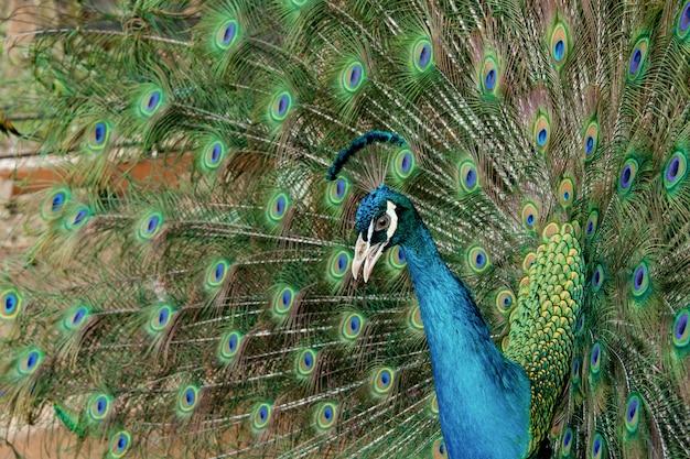 Pavão para espalhar sua cauda, mostrando suas penas. fechar o retrato de pavão