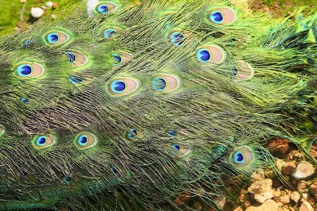 Pavão peru fechado cauda colorida verde vista superior