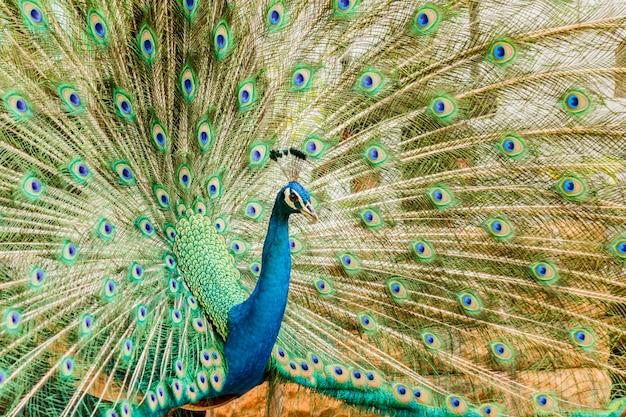Pavão. retrato do pavão masculino que indica suas penas de cauda.