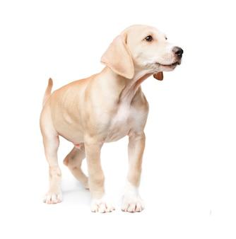 Pé cão de cabelos curtos loira