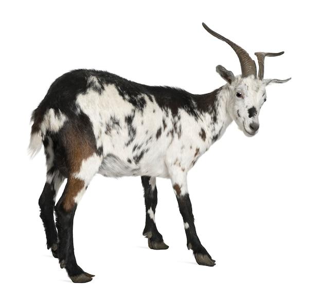 Pé de cabra rove fêmea