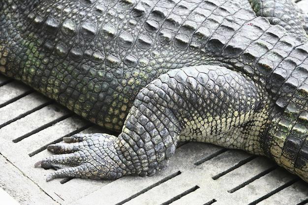 Pé de crocodilo grande na fazenda, tailândia
