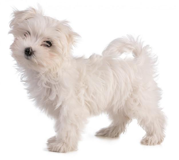 Pé de filhote de cachorro bichon maltês