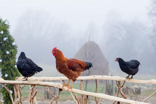 Pé de frango vermelho na cerca de madeira com gaiola no fundo