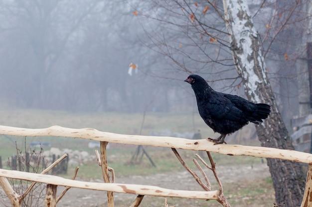 Pé de galinha preta na cerca de madeira com gaiola no fundo
