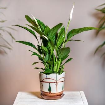 Peace lily spathiphyllum em um vaso pintado à mão