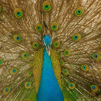 Peacok masculino expandir penas close-up
