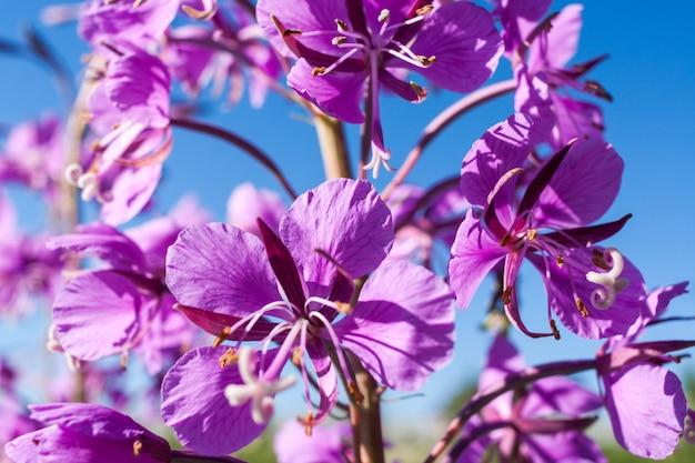 Peça do close-up da flor cor-de-rosa do fireweed contra o céu azul.