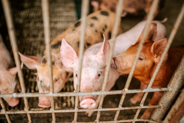 Pecuária. porcos na fazenda.