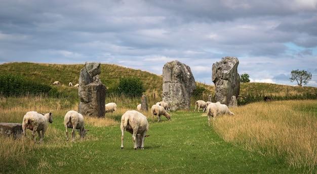 Pedras eretas do círculo histórico em avebury. ovelhas podem ser vistas pastando entre as rochas.