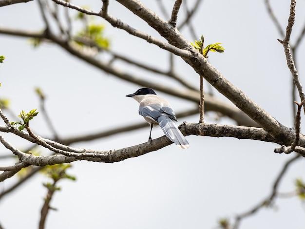 Pega-de-asa-azul empoleirada em um galho de árvore