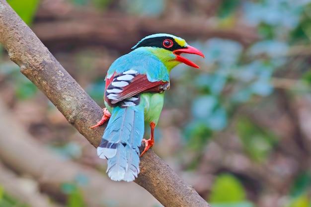 Pega verde comum cissa chinensis belas aves da tailândia