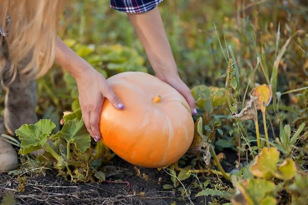 Pegando abóbora em um jardim de outono
