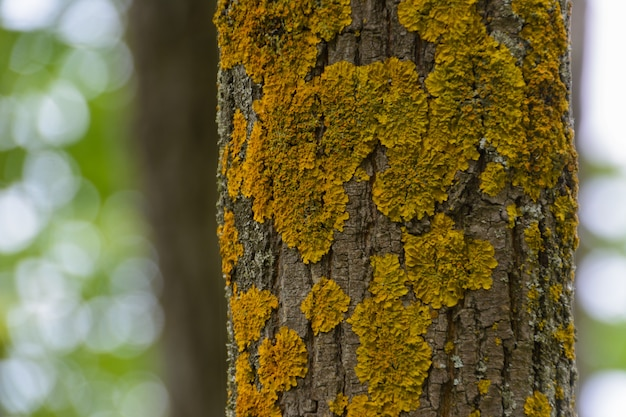 Peito de pinheiro coberto de musgo amarelo em uma floresta de pinheiros. textura, fundo desfocado.