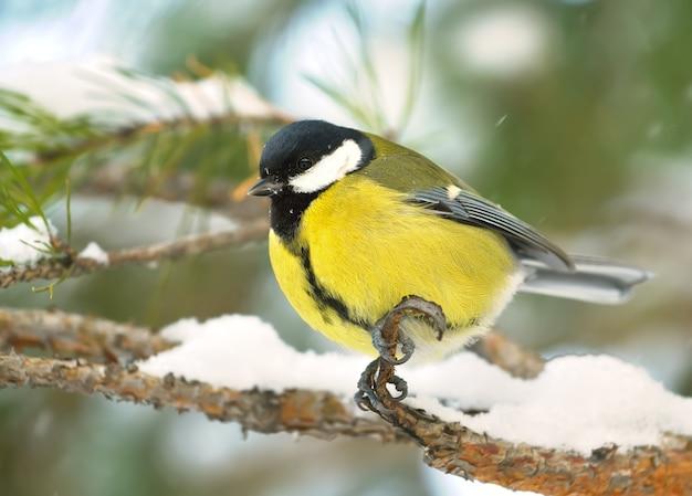 Peitos em um galho no inverno. um pequeno pássaro de perfil está sentado em um galho de pinheiro