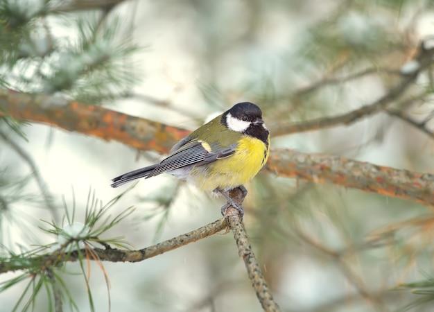 Peitos em um galho no inverno. um pequeno pássaro está sentado em um galho de pinheiro com a cabeça virada