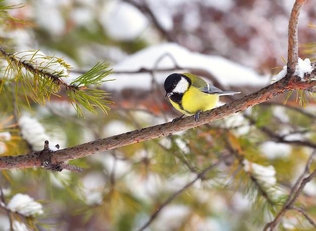 Peitos em um galho no inverno. um pequeno pássaro senta em um galho de pinheiro e olha para baixo