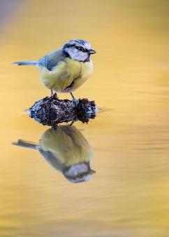 Peitos empoleirados em uma pedra de reflexão de água