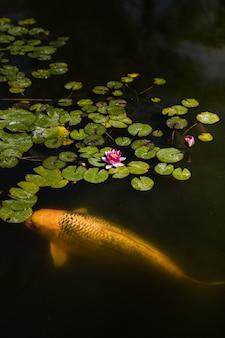 Peixe amarelo e laranja na água com pétalas de flores cor de rosa