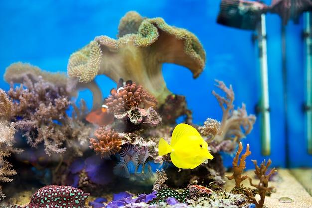 Peixe amarelo tang no aquário