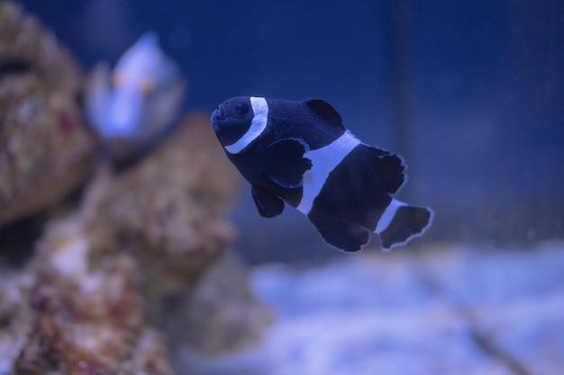 Peixe anêmona de três bandas no aquário