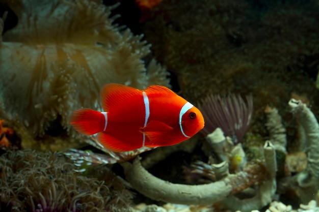 Peixe anêmona fofinho brincando no recife de coral, lindo peixe-palhaço colorido no coral