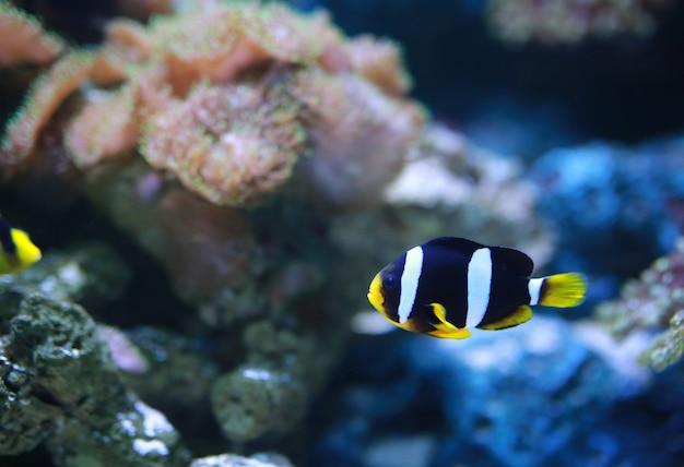 Peixe anemonefish (clownfish) de clarke