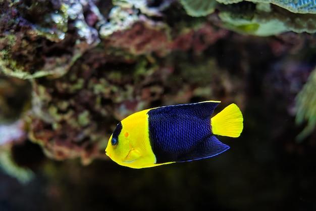 Peixe-anjo bicolor centropyge bicolor subaquático no mar