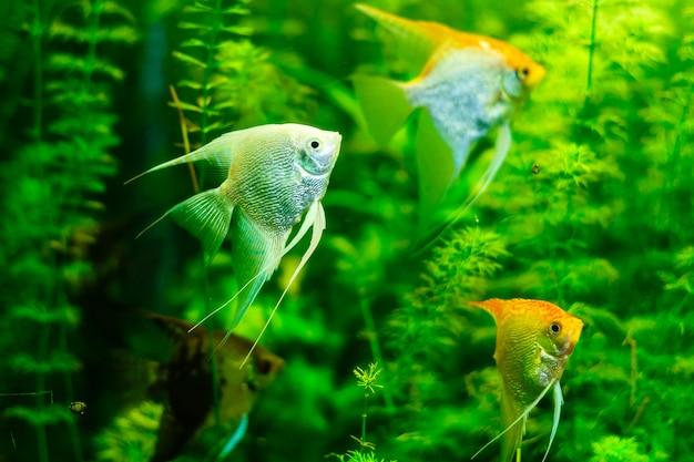 Peixe anjo e algas verdes