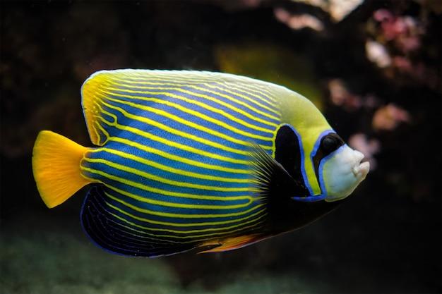 Peixe-anjo-imperador subaquático no mar