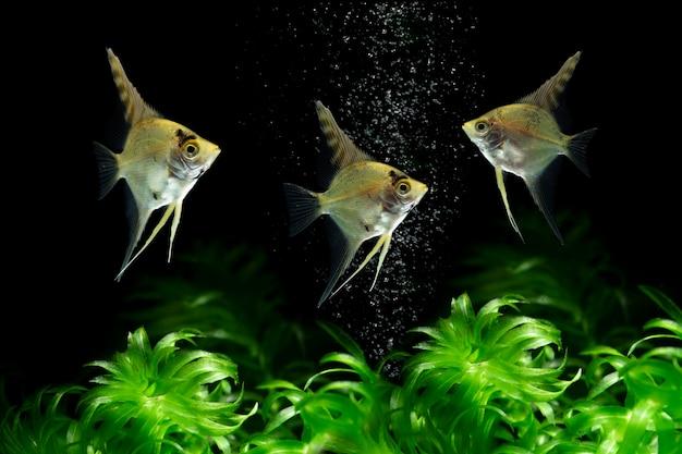 Peixe anjo nadando debaixo d'água em fundo escuro