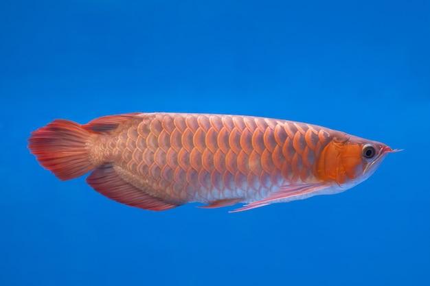 Peixe aruanã vermelho asiático