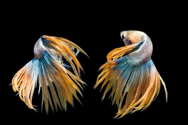 Peixe betta amarelo e azul, peixe-lutador-siamês em fundo preto