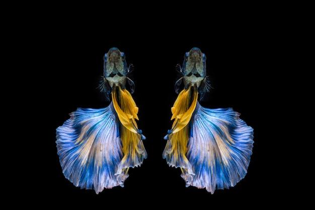 Peixe betta azul e amarelo, peixe-lutador-siamês em fundo preto