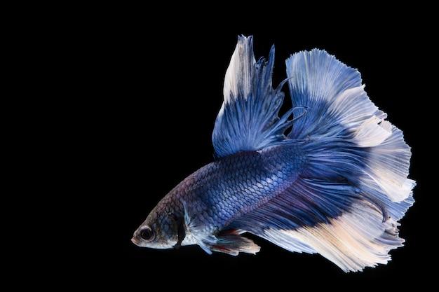 Peixe betta azul e branco, peixe-lutador-siamês no fundo preto peixe betta branco e azul, peixe-lutador-siamês no fundo preto