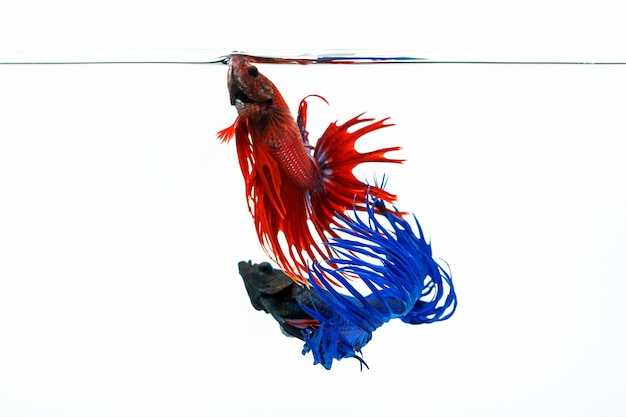 Peixe betta azul e vermelho, peixes lutadores isolados no fundo branco