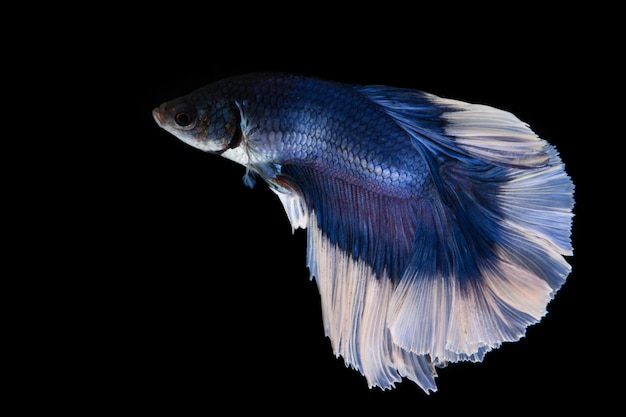 Peixe betta azul, peixe-lutador-siamês