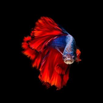 Peixe betta colorido, peixe-lutador-siamês em movimento isolado no fundo preto.