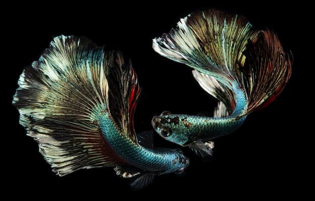 Peixe betta de cor prateada e dourada.